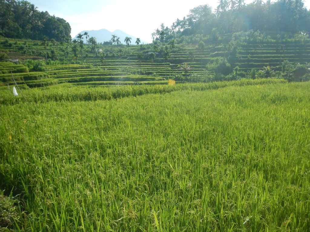 Tracking ricefields Tirtagangga East-Bali