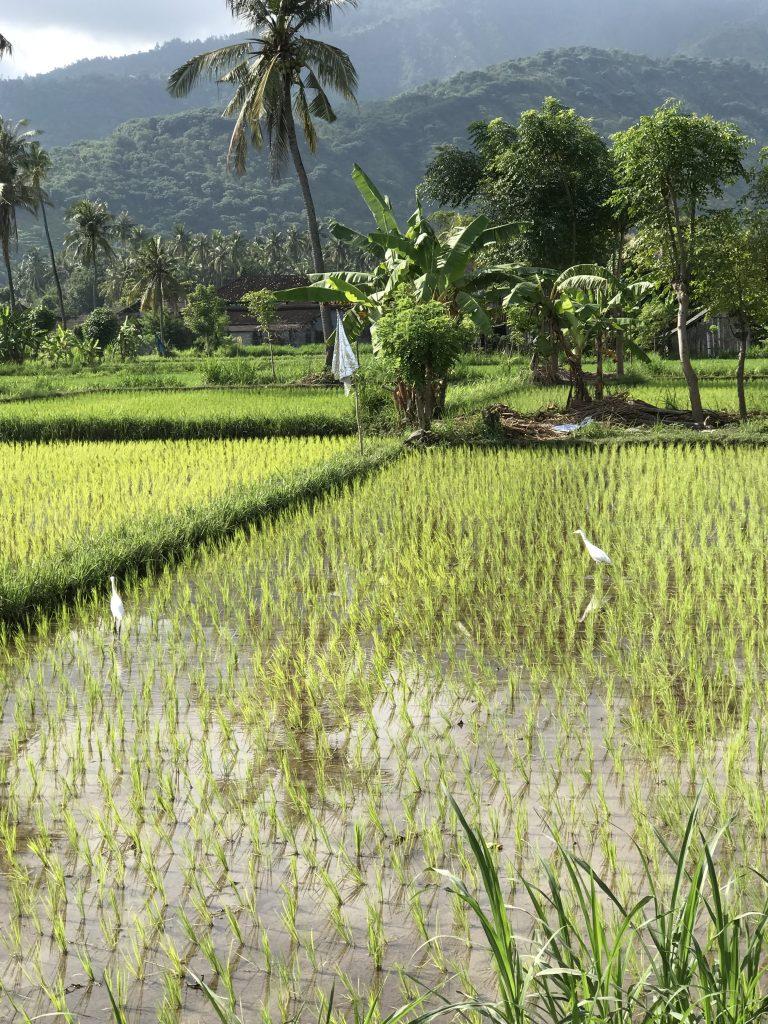ricefield_near_villasinarcinta_amed_east-bali